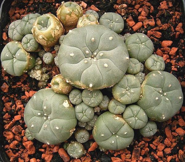 Oggi ho scoperto che i peyote sembrano dei cactus