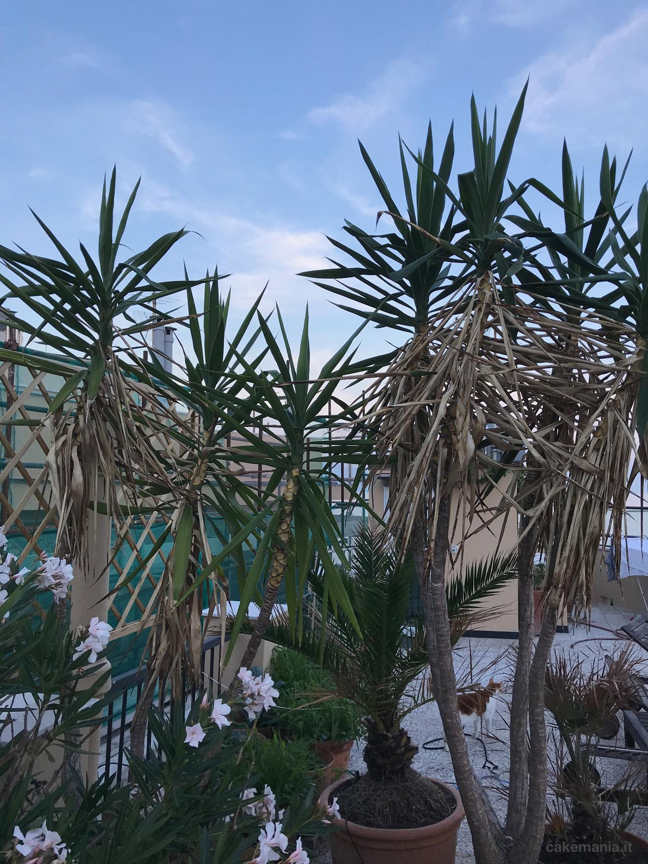 yucca in terrazza