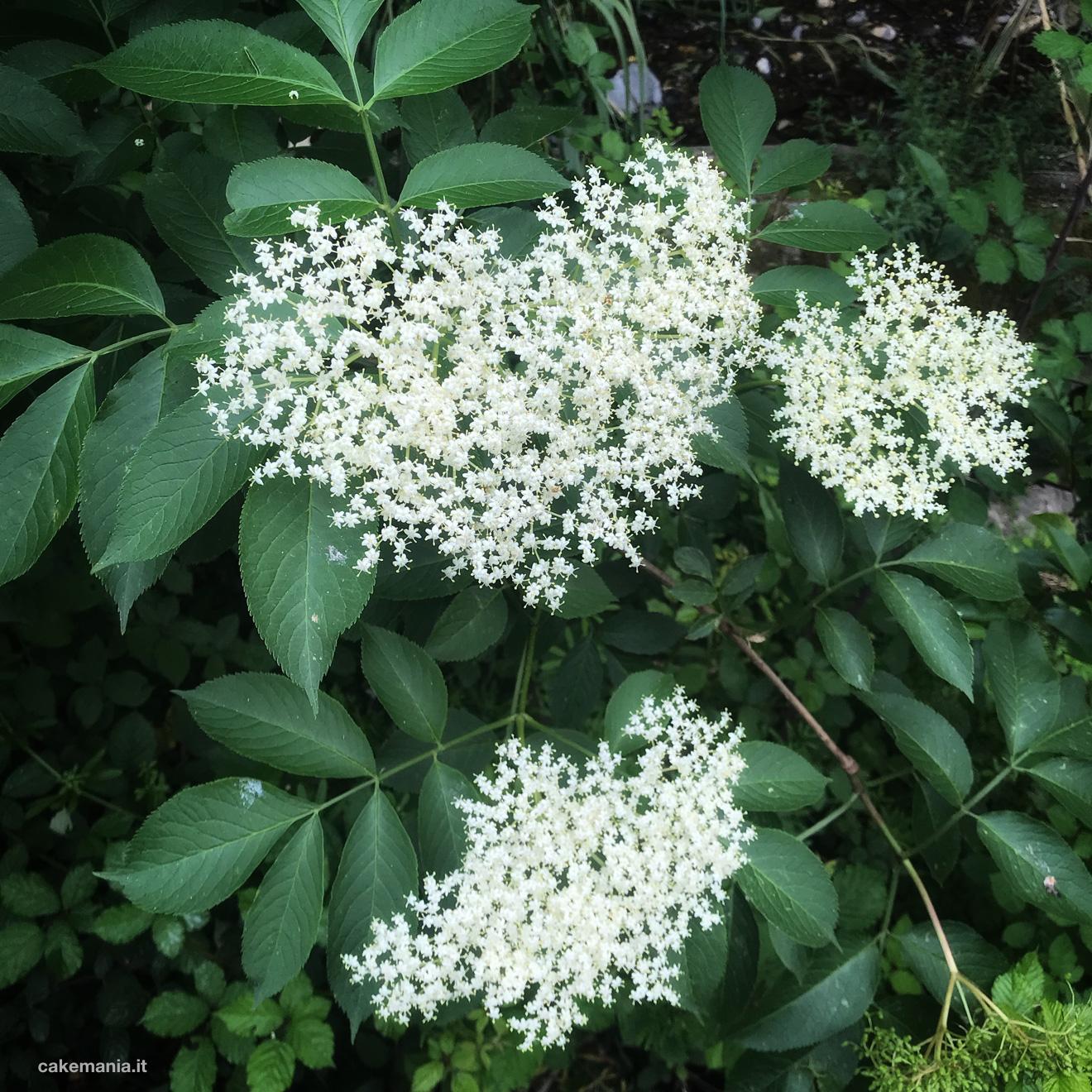 sambuco fiore commestibile