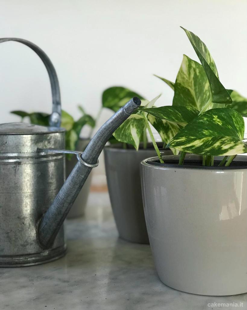 pothos in vaso talee delle piante da appartamento