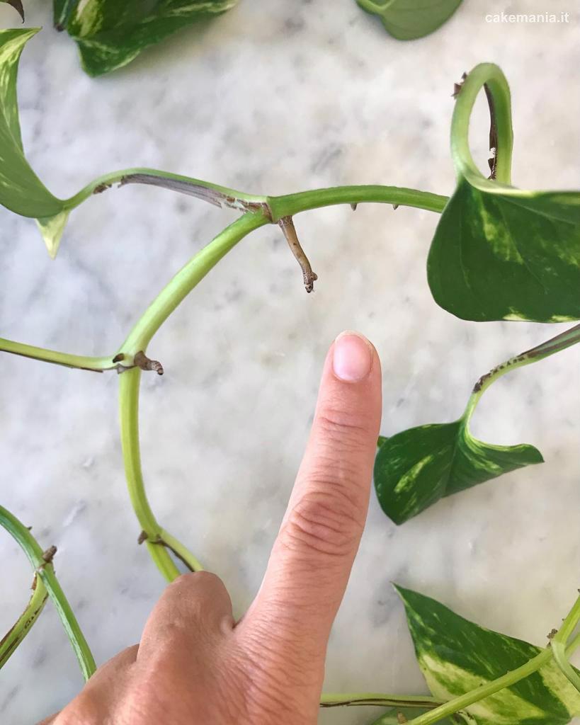 talea di pothos con radice